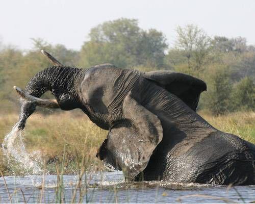 صورة لفيل في المياه